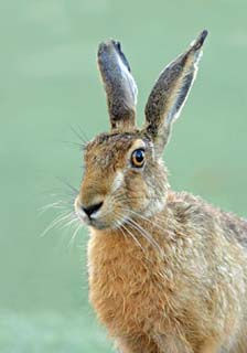 brown-hare-1.jpg