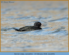 common-scoter-04.jpg