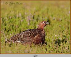 red-grouse-129.jpg