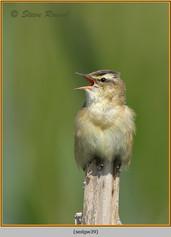 sedge-warbler-39.jpg