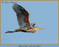 purple-heron-10.jpg