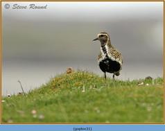 golden-plover-31.jpg