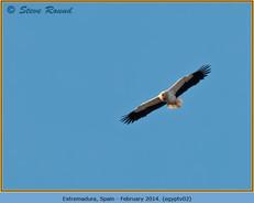 egyptian-vulture-02.jpg