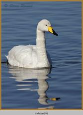 whooper-swan-39.jpg