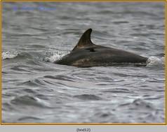 bottlenose-dolphin-12.jpg