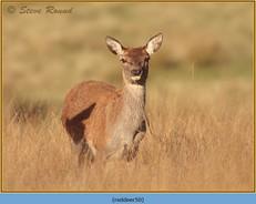 red-deer-50.jpg