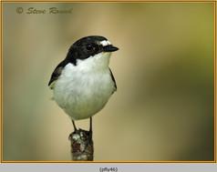 pied-flycatcher-46.jpg