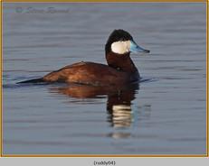 ruddy-duck-04.jpg