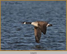 canada-goose-32.jpg