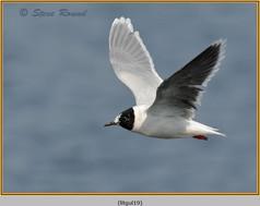 little-gull-19.jpg