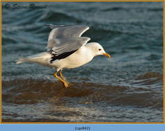 common-gull-42.jpg