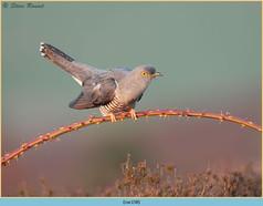 cuckoo-158.jpg