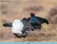 black-grouse- 92.jpg