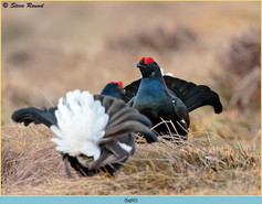 black-grouse- 92.jpg