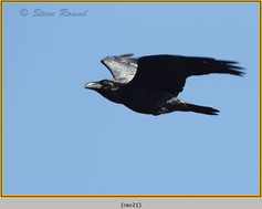 raven-21.jpg