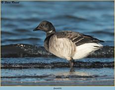 brent-goose-29.jpg