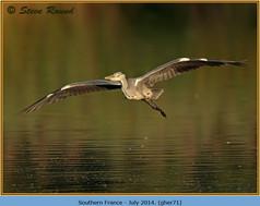grey-heron-71.jpg