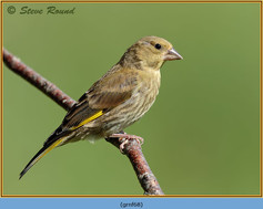 greenfinch-68.jpg