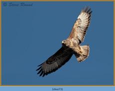 buzzard- 73.jpg