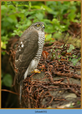 sparrowhawk-55.jpg