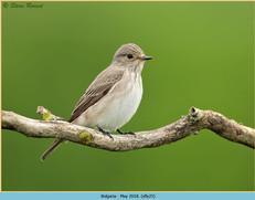 spotted-flycatcher-25.jpg