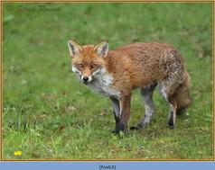 fox-63.jpg