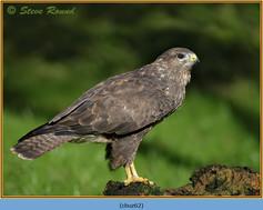 buzzard- 62.jpg