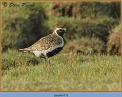 golden-plover-27.jpg
