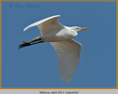 cattle-egret-56.jpg
