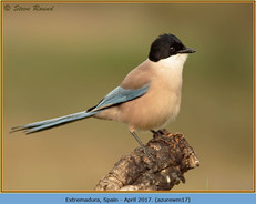 azure-winged-magpie-17.jpg