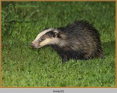 badger-30.jpg