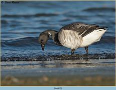 brent-goose-35.jpg