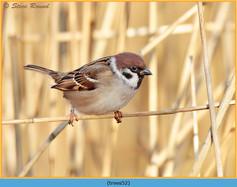 tree-sparrow-52.jpg