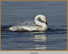 whooper-swan-33.jpg