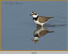 little-ringed-plover-19.jpg