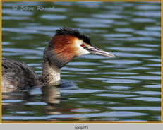 great-crested-grebe-27.jpg
