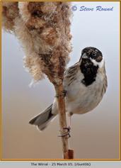 reed-bunting-06.jpg