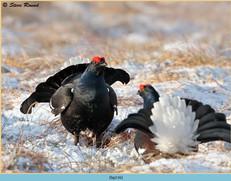 black-grouse-116.jpg