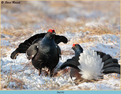 black-grouse-116.jpg