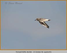 grey-plover-05.jpg