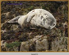 grey-seal-15.jpg