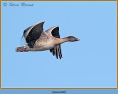 pink-footed-goose-80.jpg