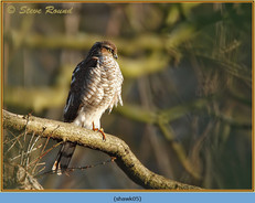 sparrowhawk-05.jpg