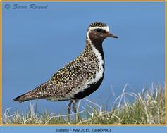 golden-plover-60.jpg