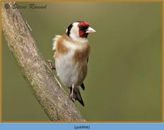 goldfinch-68.jpg