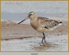 bar-tailed-godwit-45.jpg