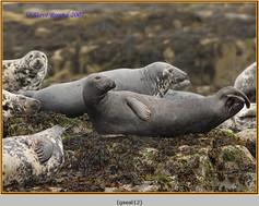 grey-seal-12.jpg