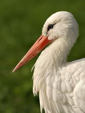 white-stork1c.jpg
