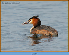 great-crested-grebe-39.jpg