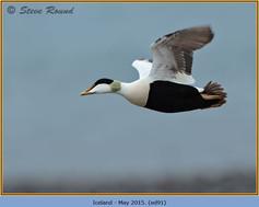 eider-duck- 91.jpg
